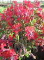 red Garden Flowers Cuphea Photo