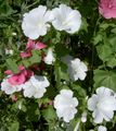 Buy online white Garden Flowers Annual Mallow, Rose Mallow, Royal Mallow, Regal Mallow / Lavatera trimestris Photo