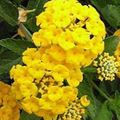 Photo Lantana description
