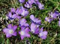 Photo Linum perennial description