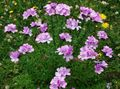 Buy online pink Garden Flowers Linum perennial Photo
