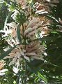 Buy online white Garden Flowers Lion's ear, Lion's Tail, Wild Dagga / Leonotis leonurus Photo