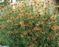 Buy online orange Garden Flowers Lion's ear, Lion's Tail, Wild Dagga / Leonotis leonurus Photo