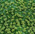 Buy online green Garden Flowers Azorella, Yareta Photo