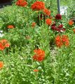 red Garden Flowers Maltese Cross, Jerusalem Cross, London Pride / Lychnis chalcedonica Photo