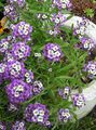 Buy online lilac Garden Flowers Sweet Alyssum, Sweet Alison, Seaside Lobularia / Lobularia maritima Photo
