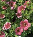 Photo Malope description