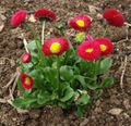 red Garden Flowers Bellis daisy, English Daisy, Lawn Daisy, Bruisewort / Bellis perennis Photo
