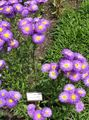 purple Garden Flowers Seaside Daisy, Beach Aster, Flebane / Erigeron glaucus Photo