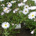 white Garden Flowers Seaside Daisy, Beach Aster, Flebane / Erigeron glaucus Photo
