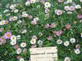 Buy online white Garden Flowers Mexican Daisy, Santa Barbara Daisy, Dancing Daisy, Latin American Fleabane, Seaside Daisy / Erigeron  karvinskianus Photo