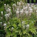 Photo Tiarella, Fleur De Mousse la description