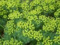 Photo Cypress Spurge, Bonaparte's Crown, Graveyard Moss description