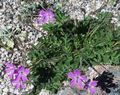 Buy online pink Garden Flowers Heron's Bill, Stork's Bill / Erodium Photo