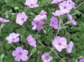 Buy online lilac Garden Flowers Heron's Bill, Stork's Bill / Erodium Photo