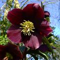 Photo Christmas Rose, Lenten Rose description