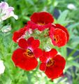red Garden Flowers Cape Jewels / Nemesia Photo