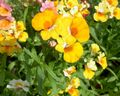 yellow Garden Flowers Cape Jewels / Nemesia Photo