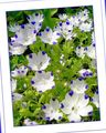 Buy online white Garden Flowers Nemophila, Baby Blue-eyes Photo