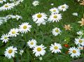 Buy online white Garden Flowers Ox-eye daisy, Shasta daisy, Field Daisy, Marguerite, Moon Daisy / Leucanthemum Photo