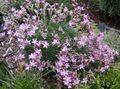 pink Garden Flowers Acantholimon, Prickly Thrift Photo