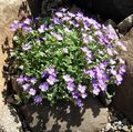Photo Aubrieta, Rock Cress description