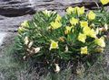 yellow Garden Flowers White Buttercup, Pale Evening Primrose / Oenothera Photo
