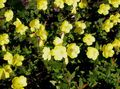 yellow Garden Flowers Evening primrose / Oenothera fruticosa Photo