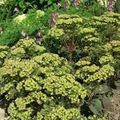 green Garden Flowers Showy Stonecrop / Hylotelephium spectabile Photo