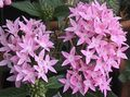 Photo Egyptian star flower, Egyptian Star Cluster description