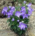 Photo Balloon Flower, Chinese Bellflower description