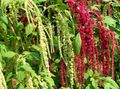 Buy online burgundy Garden Flowers Amaranthus, Love-Lies-Bleeding, Kiwicha / Amaranthus caudatus Photo