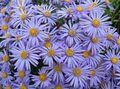 Photo Ialian Aster description