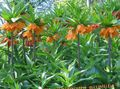 Photo Crown Imperial Fritillaria description