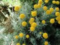 yellow Garden Flowers Lavender Cotton, Holy Herb, Ground Cypress, Petite Cypress, Green Santolina Photo