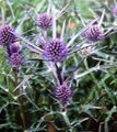 Photo Amethyst Sea Holly, Alpine Eryngo, Alpine Sea Holly description