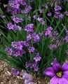 Photo Stout Blue-eyed Grass, Blue eye-grass description