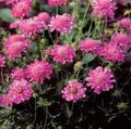 Photo Scabiosa, Pincushion Flower description