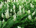 Photo Canada Mayflower, False Lily of the Valley description