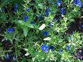 Buy online blue Garden Flowers Blue pimpernel / Anagallis Monellii Photo