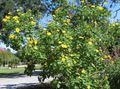 Photo Arbre De Tournesol, Arbre Souci, Tournesol Sauvage, Tournesol Mexicain la description