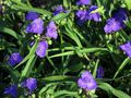 blue Garden Flowers Virginia Spiderwort, Lady's Tears / Tradescantia virginiana Photo
