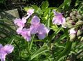 pink Garden Flowers Virginia Spiderwort, Lady's Tears / Tradescantia virginiana Photo