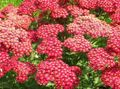 Buy online red Garden Flowers Yarrow, Milfoil, Staunchweed, Sanguinary, Thousandleaf, Soldier's Woundwort / Achillea Photo