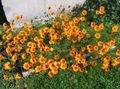 Buy online orange Garden Flowers Parachute daisy / Ursinia Photo
