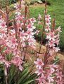 Buy online pink Garden Flowers Watsonia, Bugle Lily Photo