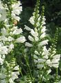 Obedient plant, False Dragonhead