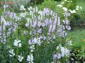 Photo Obedient plant, False Dragonhead description