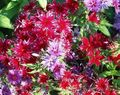 Buy online red Garden Flowers Annual Phlox, Drummond's Phlox / Phlox drummondii Photo