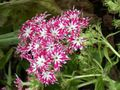 Buy online pink Garden Flowers Annual Phlox, Drummond's Phlox / Phlox drummondii Photo